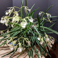 October Greenhouse 2nd Place – Brassavola nodosa grown by John Myhre