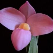 Phrag. (Waunakee Sunset x fischeri) – Jeff Tucker – Non-greenhouse 3rd Place