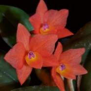 Sophronitis cernua – Miriam Sagasti – Non-greenhouse 1st place