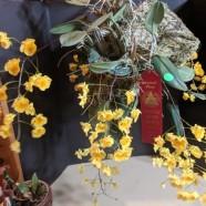 2nd Greenhouse (Tie) – Dendrobium aggregatum – Miriam Sagasti