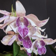 1st Greenhouse (tie) – Dendrobium Silver King – Harry Gallis