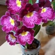 2nd Greenhouse – Miltoniopsis Hajime Ono x Arnold Linsman – Nancy Harvey