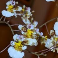 3rd Greenhouse – Tolumnia bahamensis – Paul Welty