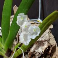 1st Non-Greenhouse – Podangis dactyloceras – Miriam Sagasti