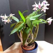 3rd Greenhouse – Dendrobium (Peter Shen x Silver Wings) – Leo & Miriam Sagasti