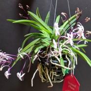 2nd Greenhouse – Neofinetia falcata 'Shutteno' – Sara Gallis