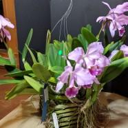 1st Greenhouse – Cattleya gaskilliana – Robin & Josh Gurlitz