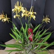 2nd Greenhouse – Brassocattleya Yellow Bird – Kelly Nipp & Steven McAllister