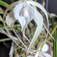 3rd Greenhouse – Brassavola cucullata – Nancy Harvey